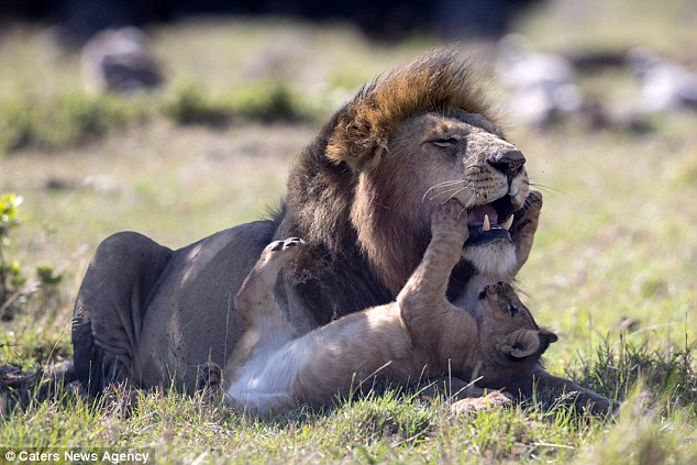 Open wide! A curious cub plays with a male lion who just took over its pride... and the adult can