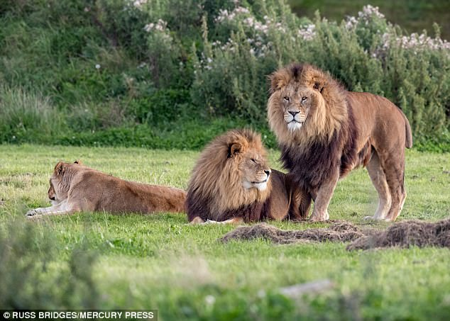 The images show one of the male lions stride over to his mate, mount him and pin him down