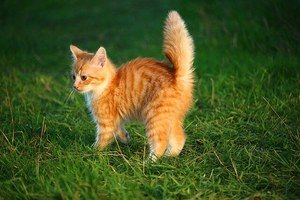 orange kitten in the grass